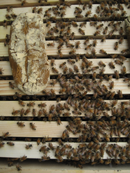 Honey bees were fed with imidacloprid-dosed pollen patties, seen here on the left. Photo: Galen Dively