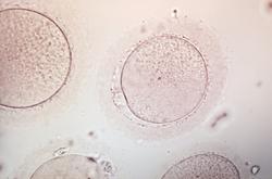 egg under microscope