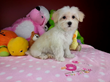 Royal Flush Havanese Announces Benefits to Spaying and Neutering...