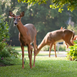 Discover interesting and fun facts about dozens of nuisance wildlife, including deer, rabbits, birds, raccoons, chipmunks and squirrels.