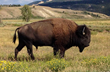Wildlife sightings are common in Jackson Hole, especially the free roaming bison, a symbol of the area's Wild West history celebrated by the Old West Days event.