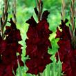 Longfield Gardens, Espresso gladiolus , Fireworks
