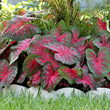 Longfield Gardens, Red Flash Caladium , Fireworks