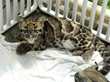 Feline Conservation Federation Convention June 25 through 27 in...
