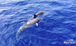 Hawaii Boat Tour Company Launches New Wild Dolphin Swim Ocean...