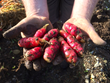 Cultivariable Breeds Two New Open Source Oca Varieties