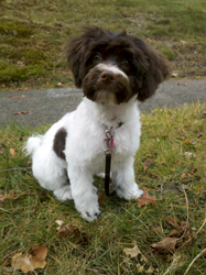 Royal Flush Havanese Announces 5 Tips for a Successful Stay in Pet-Friendly Accommodations