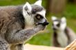 "Oakland Zoo's Conservation Speaker Series Presents ""Action for Lemurs"""