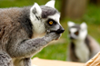 Oakland Zoo and Sonoma State University Collaborate to Enhance the Lives of Lemurs