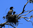 cormorants, birds, nesting birds, waterbirds, oregon cormorants, east sand island