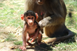 Baby Boy Baboon with Mother