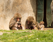 Baby baboons with Mothers and sibling