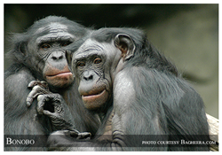 The Bonobo - an Endangered Species - photo by Endangered Species Journalist Craig Kasnoff