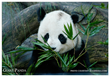 The Giant Panda - an Endangered Species - photo by Endangered Species Journalist Craig Kasnoff