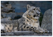 The Snow Leopard - an Endangered Species - photo by Endangered Species Journalist Craig Kasnoff