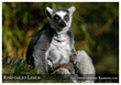 The Ringed-tailed Lemur - an Endangered Species - photo by Endangered Species Journalist Craig Kasnoff