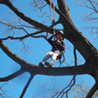 A Junior Climber enjoys the birds-eye view of Wave Hill from the top of a large Sugar Maple tree
