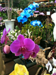 California Flower Mall Choi Orchids Blooms with Wholesale Orchids & Green Plants for Mother's Day Flowers Gifts