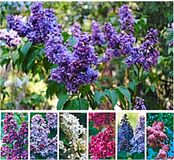 May 1-31, 2015 Idyllwild Lilac Festival at Alpenglow Lilac Gardens in Idyllwild