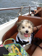 Royal Flush Havanese Shares Tips on Air Travel With Your Canine