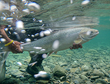 Live Release of Quebec's Large Salmon in 2016 a Welcome Move, says ASF