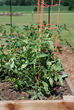 Stake or tower tomatoes to reduce insect and disease problems and make harvesting easier.
