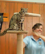 Feline Conservation Federation Offers Two Continuing Education Courses on Feline Husbandry and Conservation Education