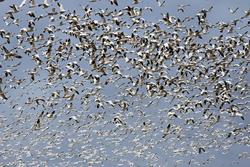 birds, geese, migration, bird flu, H5 virus, avian influenza