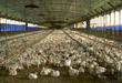 poultry, chickens, bird flu, avian influenza