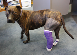 Pit bull terrier wears a cast while recovering from a dislocated ankle surgery, covered by Pets Best.