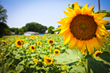 17th Annual Sunflower Trail and Festival to be Held in Gilliam
