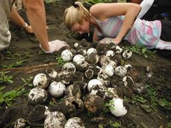Sea Turtle Nest Excavation