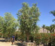 Ultra Waterwise California Pepper Tree and Moon Valley Nurseries