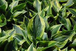 Hosta, Costa Farms, Easy Perrenials