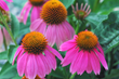 Cone Flower, Costa Farms Perennial, East to grow perennial