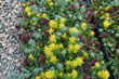 Seedum tile, drop and grow, Costa Farms perennial