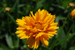 coreopsis, costa farms perennial, easy to grow perennial