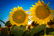 Sunflower Blue Sky Thank you Barb Morrison Wichita, KS