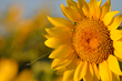 Sunflower Yellow Sky Thank you Barb Morrison Wichita, KS