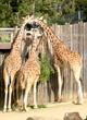Giraffes Eating Browse