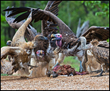 African Vultures Declining at Critical Rate