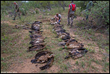 Poisoned African Vultures