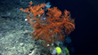 A large black coral along the edge of a very steep cliff that was heavily encrusted with coral and sponges. Image courtesy of NOAA Okeanos Explorer Program, Our Deepwater Backyard: Exploring Atlantic