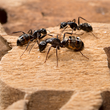 Batzner Pest Contol Celebrates Carpenter Ant Awareness Week