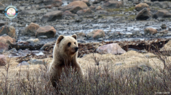 Staff at Churchill Wild's Seal River Lodge, 60 km north of Churchill, Manitoba, were greeted by a grizzly bear in the morning and a polar bear in the evening, as they were preparing for their first polar bear safari of the season, Birds, Bears and Belugas