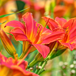 Daylily Bloom Festival