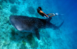 El Cid Resorts Invites Visitors to Enjoy Whale Shark Tours This Summer