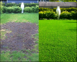 Before and After SYNLawn chafer beetle solution