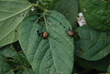 Japanese beetles eat and mate in broad daylight and feed on the leaves and flowers of over 300 different types of plants.