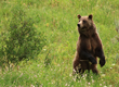 """Grizzly bears are one of the """"charismatic mega-fauna"""" often spotted on the Yellowstone National Park wolf and bear safari offered by new WordenGroup client Wildlife Expeditions (photo by Sean Beckett)"""